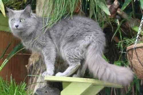 ТОП 6 самых дорогих пород кошек — список, характеристика и фото 6