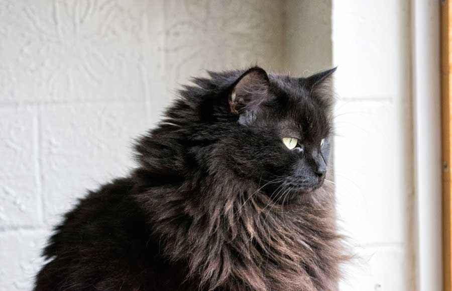 ТОП 11 пород кошек с чёрным окрасом — список, характеристика и фото 7