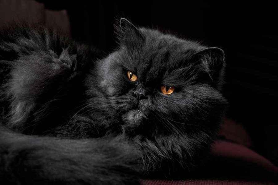ТОП 11 пород кошек с чёрным окрасом — список, характеристика и фото 4