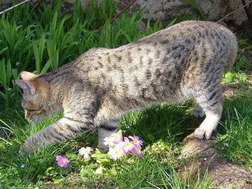 Пятнистые породы кошек - список, характеристика и фото 7