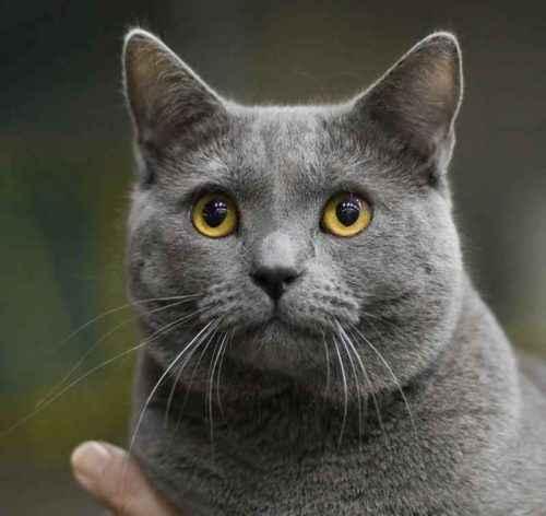 ТОП 6 пород кошек с голубым или дымчатым окрасом шерсти — список, характеристика и фото 4
