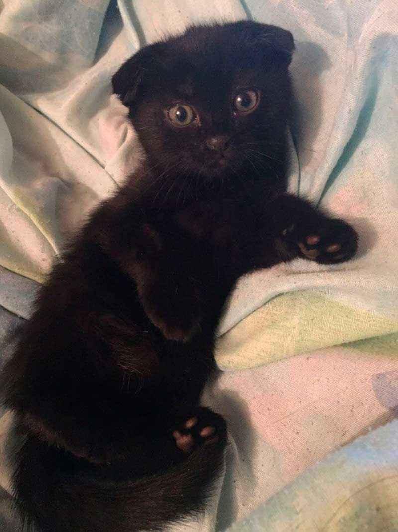 ТОП 11 пород кошек с чёрным окрасом — список, характеристика и фото 5