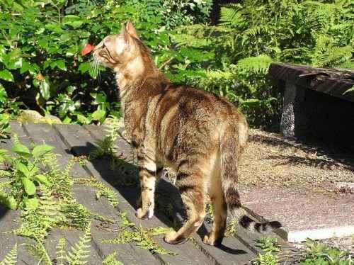 ТОП 6 самых дорогих пород кошек — список, характеристика и фото 7