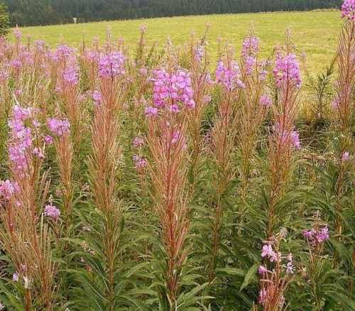 Какие растения произрастают в лесной зоне России - список, характеристика и фото 12