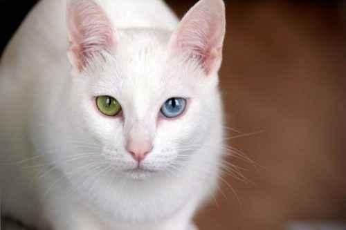 ТОП 6 самых дорогих пород кошек — список, характеристика и фото 4