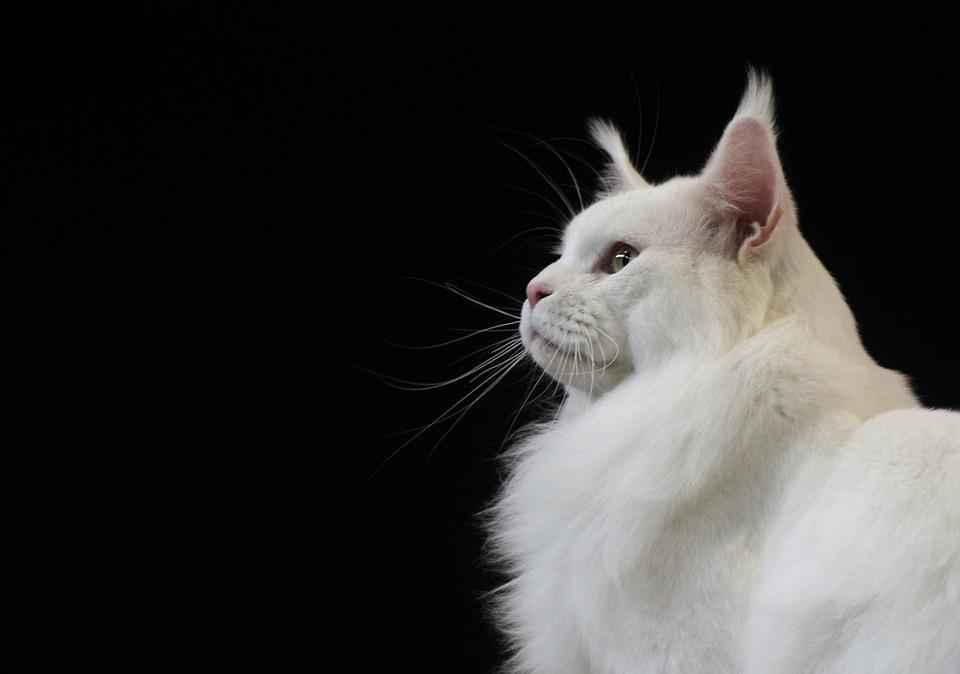 Как называются кошки с кисточками на ушах?