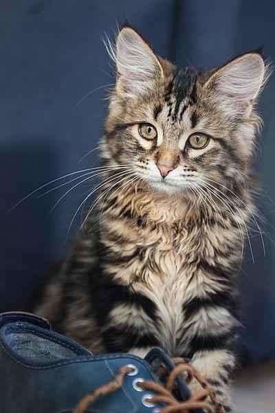 Полосатые породы кошек - список, характеристика и фото 4