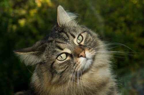 Полосатые породы кошек - список, характеристика и фото 3