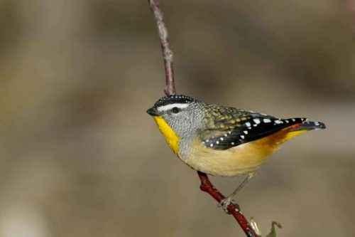 ТОП 16 самых маленьких птиц в мире - список видов, характеристика и фото 8