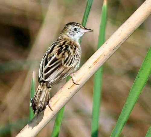 ТОП 16 самых маленьких птиц в мире - список видов, характеристика и фото 7