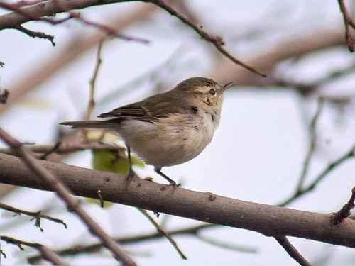 ТОП 16 самых маленьких птиц в мире - список видов, характеристика и фото 12