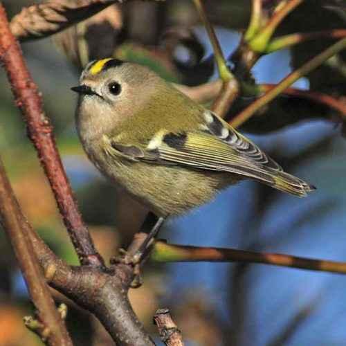 ТОП 16 самых маленьких птиц в мире - список видов, характеристика и фото 10