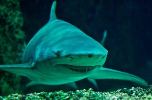 Какие виды акул самые опасные для человека - список, фото и описание 2