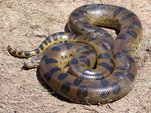 Какая змея самая длинная на Земле — фото и описание