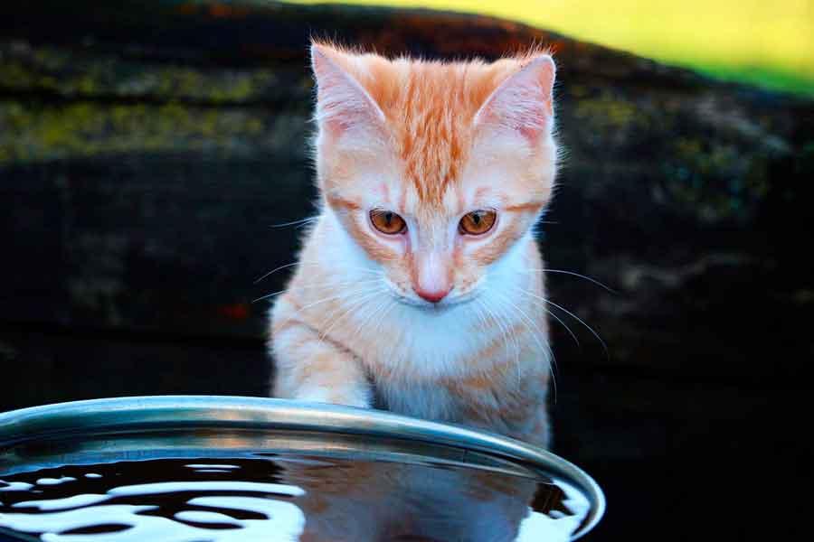 Какие кошки любят воду