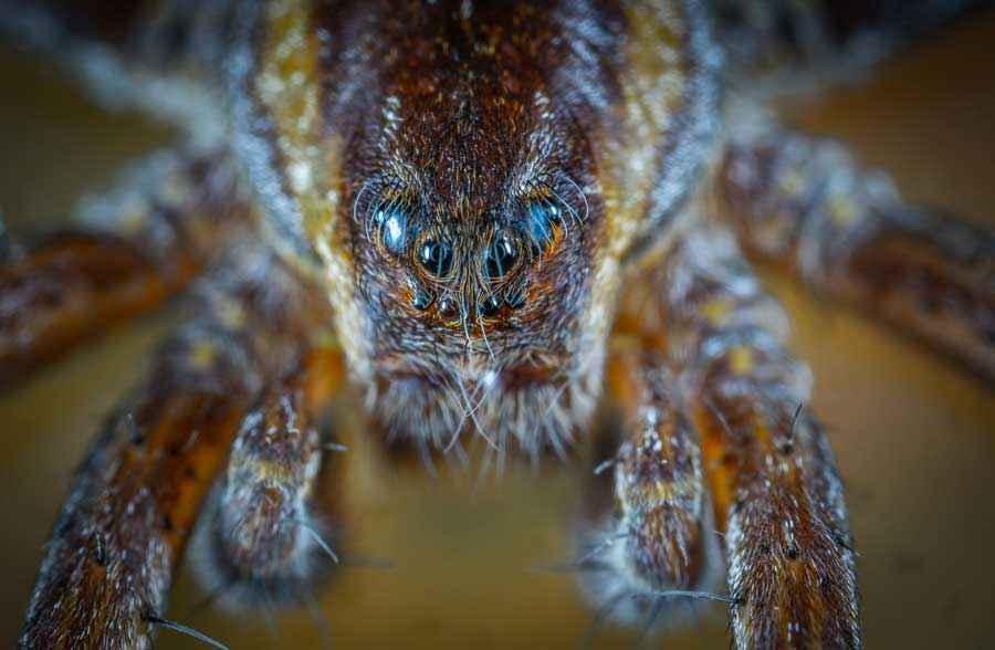 Самые ядовитые пауки в мире, самые опасные пауки