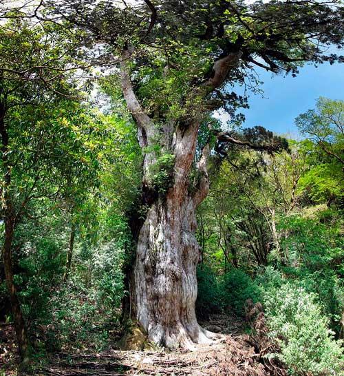 Какие деревья самые древние на Земле — список, характеристика и фото