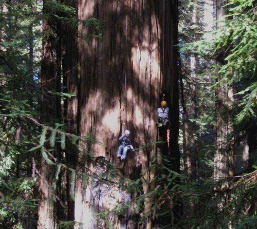 Какие деревья самые высокие на Земле - список, характеристика и фото 10
