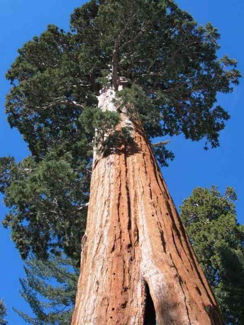 Какие деревья самые высокие на Земле - список, характеристика и фото 11