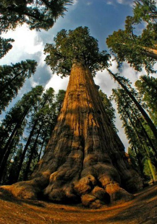 Какие деревья самые высокие на Земле - список, характеристика и фото 7