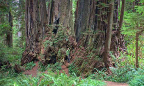 Какие деревья самые высокие на Земле - список, характеристика и фото 6