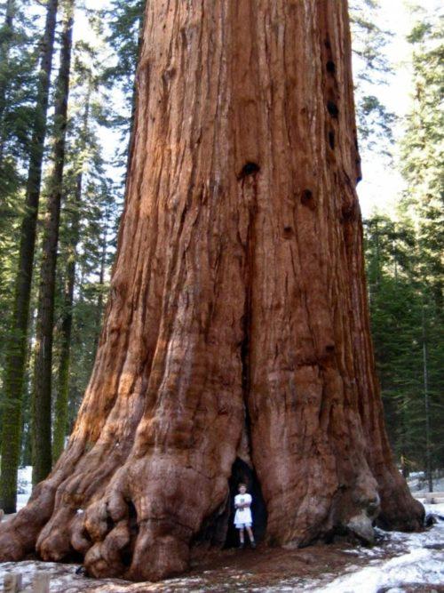 Какие деревья самые высокие на Земле - список, характеристика и фото 8