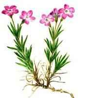 Редкие растения из Красной книги Красноярского края — список, характеристика и фото 3