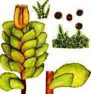 Редкие растения из Красной книги Забайкальского края — список, характеристика и фото 9