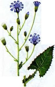 Растительный мир Урала - список, характеристика и фото 14