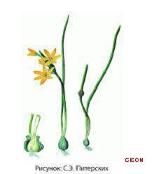 Растительный мир Урала - список, характеристика и фото 15