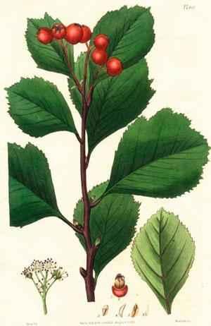 Растительный мир Новосибирской области - список, характеристика и фото 6