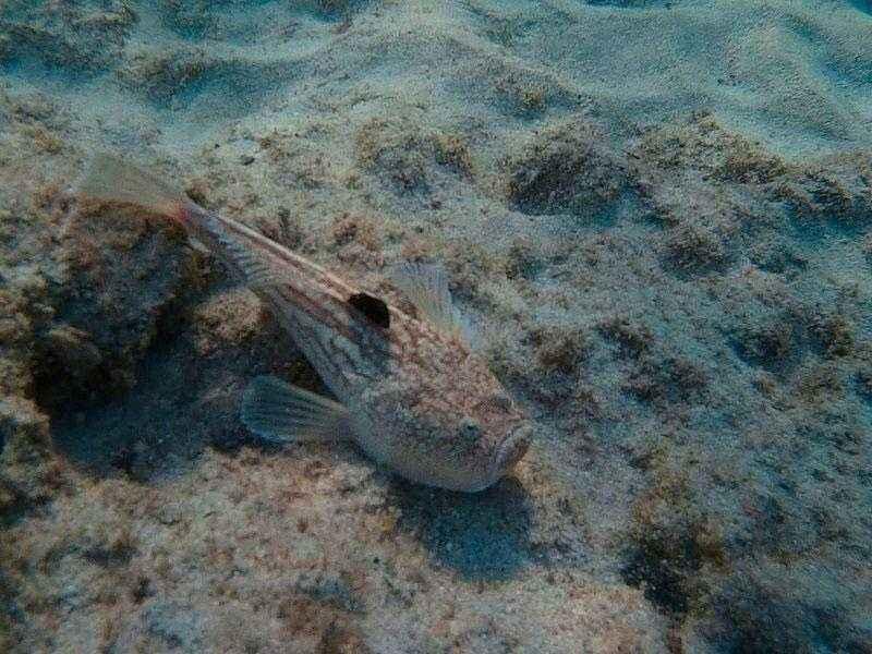 Какие ядовитые и опасные рыбы обитают в Черном море - названия видов, фото и характеристика 7