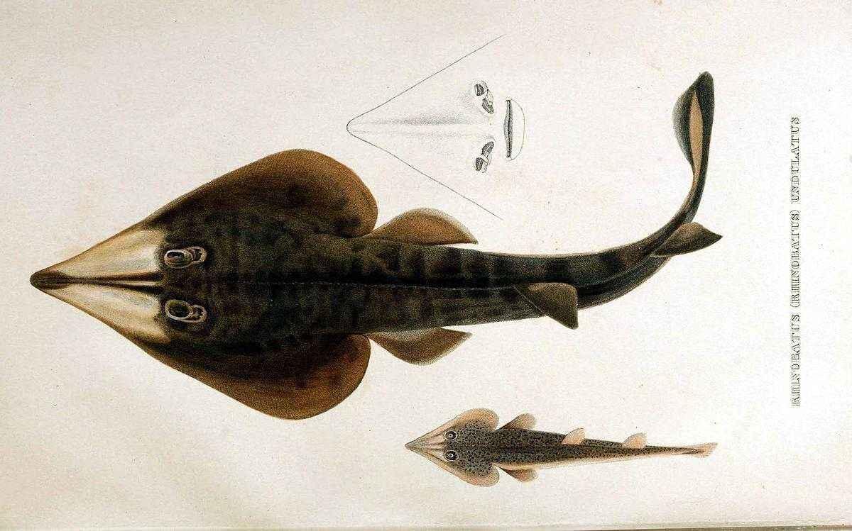 Какие виды рыб обитают в Красном море - названия, фото и характеристика 11