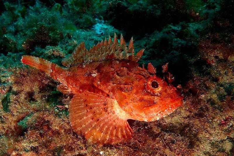 Какие ядовитые и опасные рыбы обитают в Черном море - названия видов, фото и характеристика 5