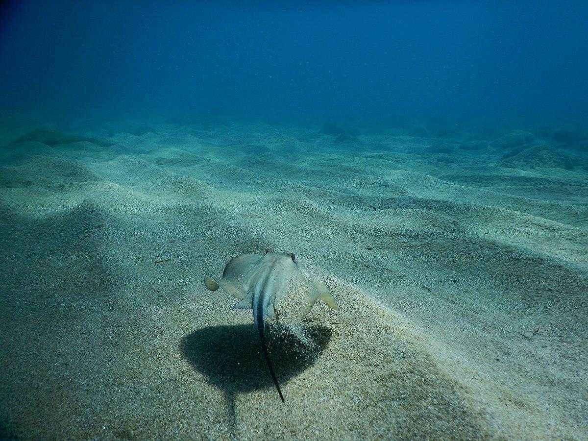 Какие ядовитые и опасные рыбы обитают в Черном море - названия видов, фото и характеристика 6