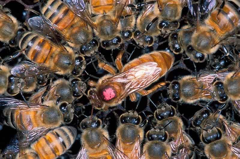 Продолжительность жизни рабочих пчел, трутней и пчеломатки? 2