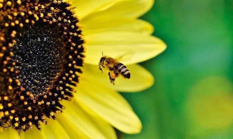 Продолжительность жизни рабочих пчел, трутней и пчеломатки? 3