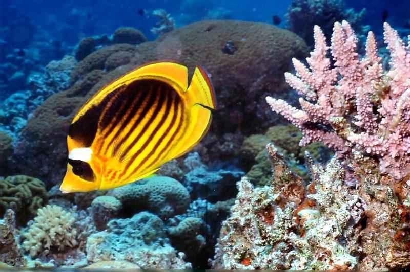 Какие виды рыб обитают в Красном море - названия, фото и характеристика 5