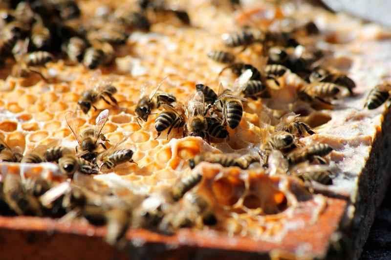 Как пчелы делают мед? Краткое описание процесса, фото и видео 4