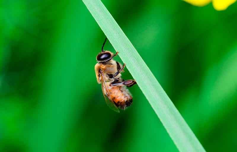Продолжительность жизни рабочих пчел, трутней и пчеломатки? 4