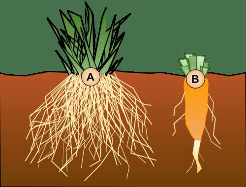 Особенности корневой системы растений - типы, примеры и значение 3