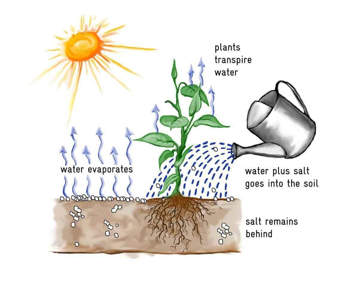 Транспирация: суть процесса, схема, скорость и значение в жизни растений 2
