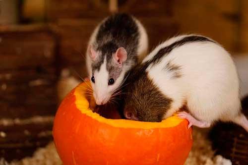 Что едят декоративные крысы в домашних условиях? Корм и дополнительное питание 3