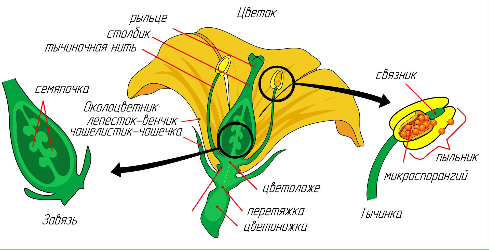 Из каких частей состоит цветок? Названия, описание и схема 2