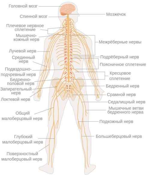Особенности анатомии тела человека 10