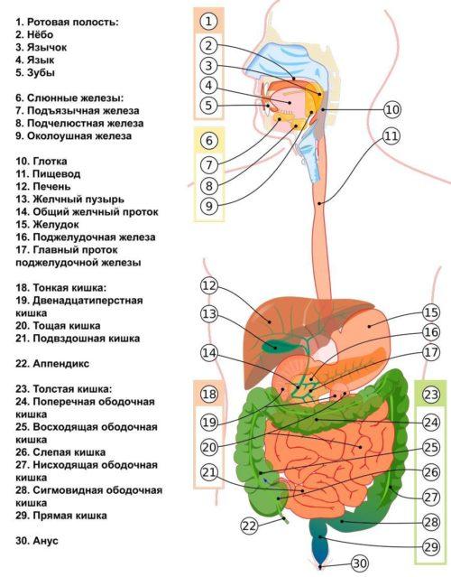 Особенности анатомии тела человека 6