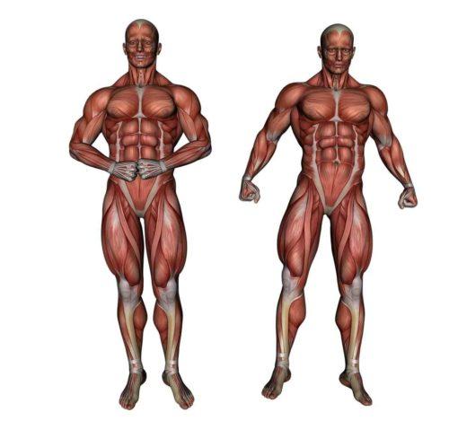 Особенности анатомии тела человека 3