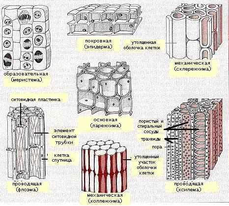 Особенности тканей растений - типы, признаки и функции 2