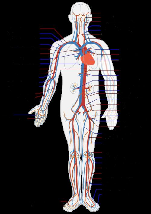 Особенности анатомии тела человека 5