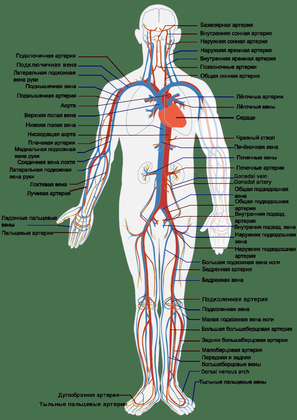 Сердечно-сосудистая система человека - функции, строение и органы 2